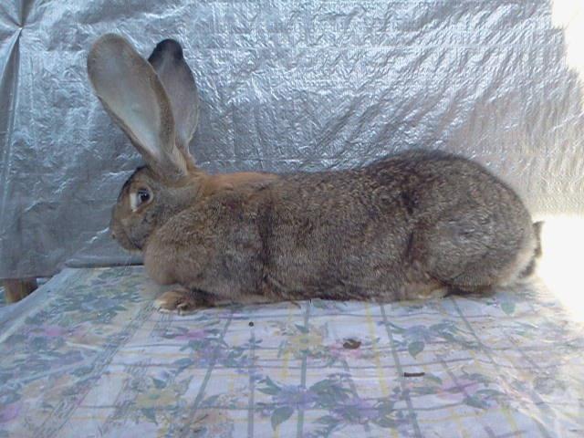 Бельгийский Великан(Обр,Ризен,Фландр) Кролики гиганты.часть 2 - Страница 39 3828689_m