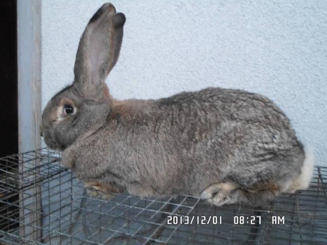 Бельгийский Великан(Обр,Ризен,Фландр) Кролики гиганты.часть 2 - Страница 40 3834405_m
