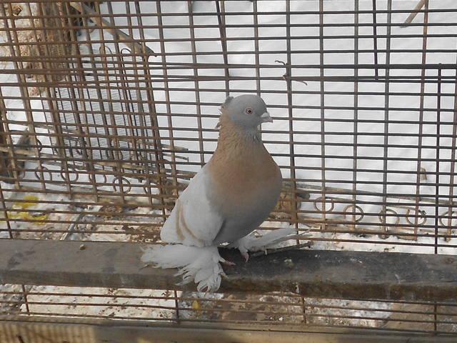 Голуби Асхата (Талдыкорган) - Страница 2 3846830_m