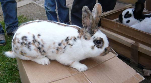 Кролики породы Бабочка. - Страница 2 3941697_m