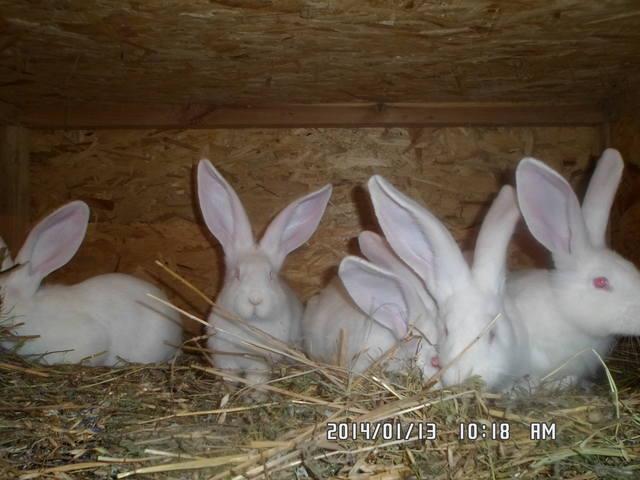 Кролики великаны. 3970545_m