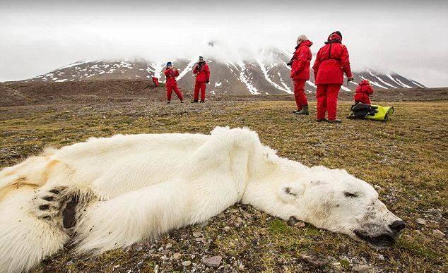starved polar bear 01