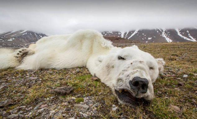 starved polar bear 02