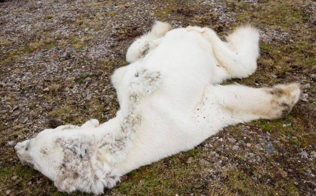 starved polar bear 03