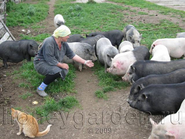 Вьетнамская вислобрюхая свинья - Страница 2 4071740_m