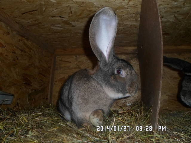 Бельгийский Великан(Обр,Ризен,Фландр) Кролики гиганты.часть 2 - Страница 5 4093268_m
