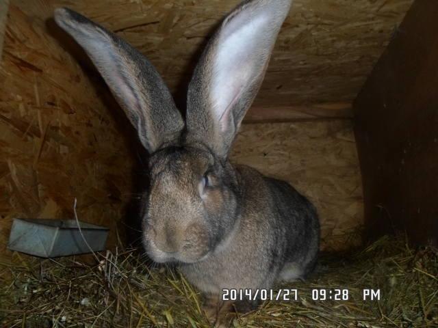 Бельгийский Великан(Обр,Ризен,Фландр) Кролики гиганты.часть 2 - Страница 5 4093345_m