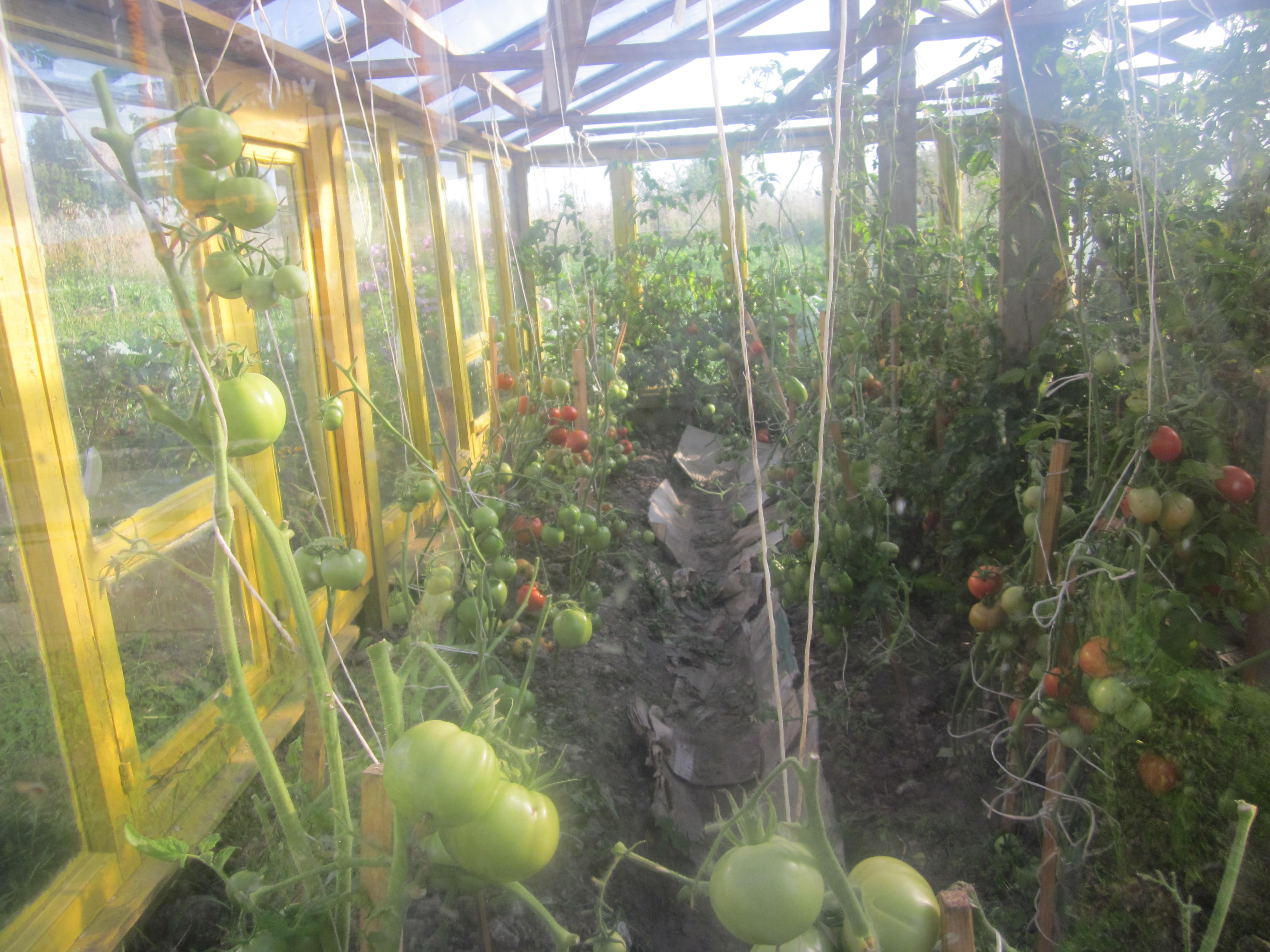 Можно ли в теплице сажать огурцы и помидоры в одной теплице 95