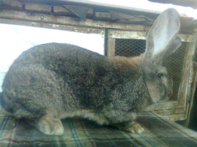 Бельгийский Великан(Обр,Ризен,Фландр) Кролики гиганты.часть 2 - Страница 5 4148150_m
