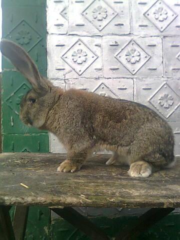 Бельгийский Великан(Обр,Ризен,Фландр) Кролики гиганты.часть 2 - Страница 5 4152723_m
