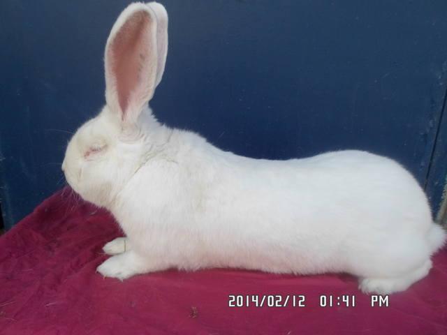 Бельгийский Великан(Обр,Ризен,Фландр) Кролики гиганты.часть 2 - Страница 6 4228085_m