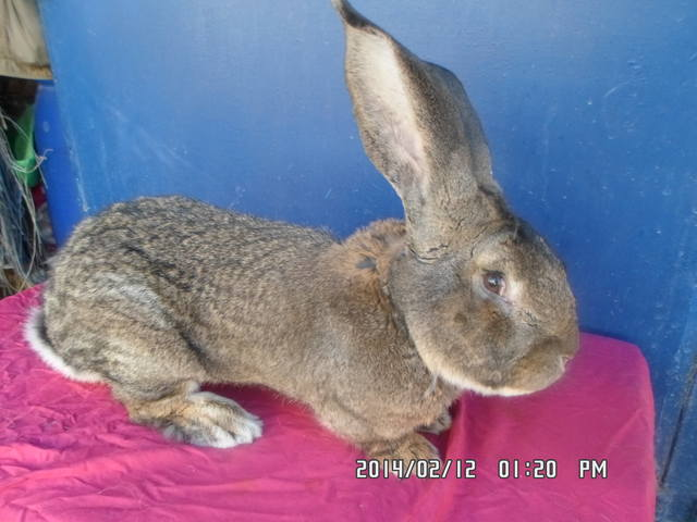 Бельгийский Великан(Обр,Ризен,Фландр) Кролики гиганты.часть 2 - Страница 6 4228097_m