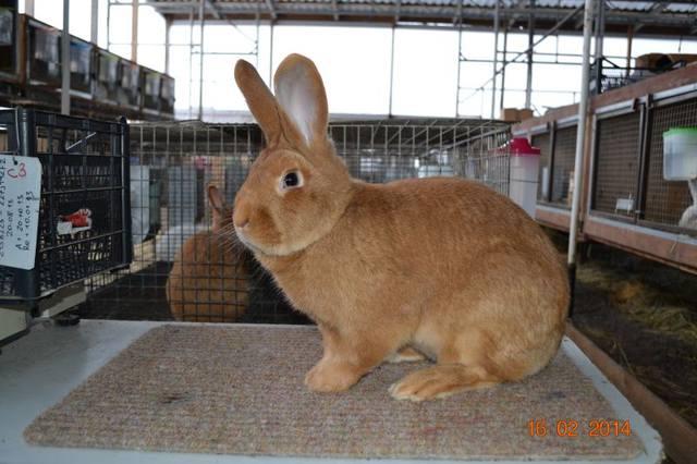 Кролики породы Бургундский - Страница 8 4259531_m