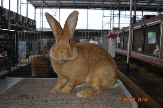 Кролики породы Бургундский - Страница 8 4259533_m