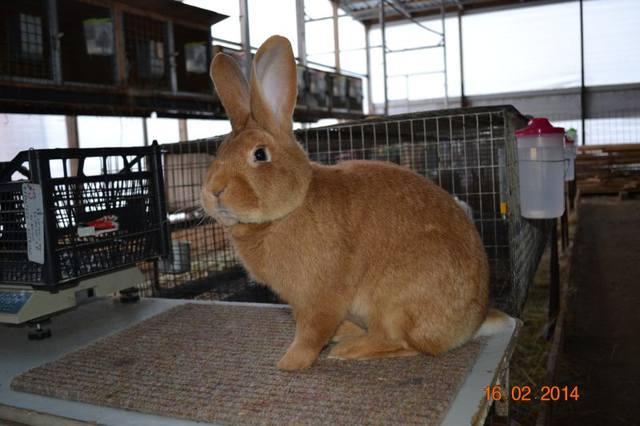 Кролики породы Бургундский - Страница 8 4259534_m