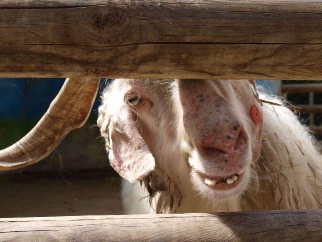 Говорящий козел
