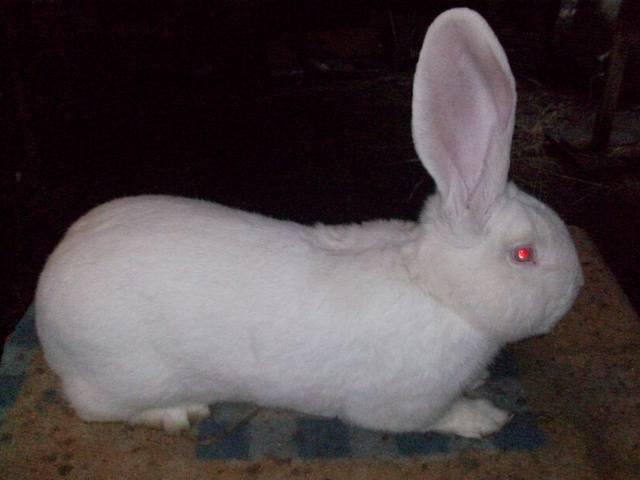 Бельгийский Великан(Обр,Ризен,Фландр) Кролики гиганты.часть 2 - Страница 6 4292740_m