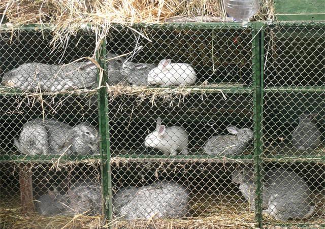 Кролики в вольерах. - Страница 33 4585559_m