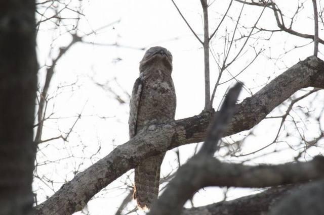Исполинский козодой, птица — ветка