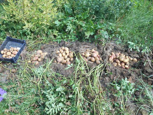 Выращивание картофеля в полевых условиях 80
