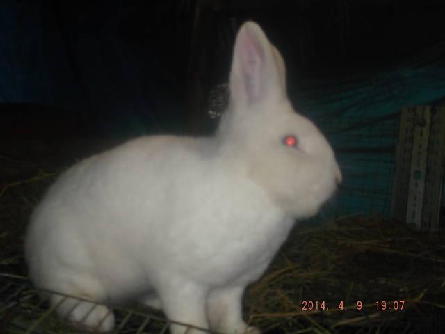 Венский белый кролик. 4774675_m