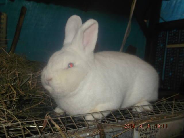 Венский белый кролик. 4774688_m