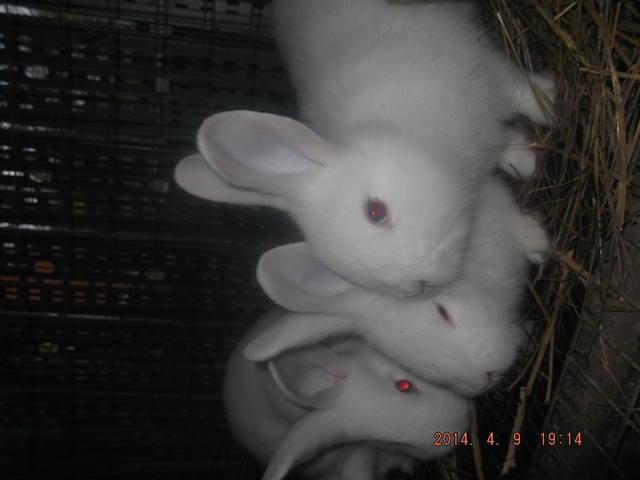 Венский белый кролик. 4774702_m