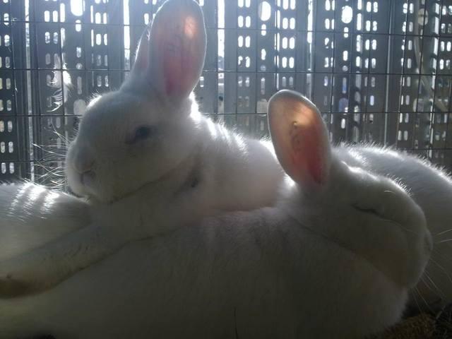 Венский белый кролик. 4775489_m