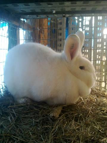 Венский белый кролик. 4775498_m
