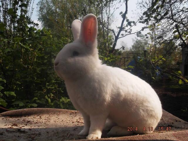 Венский белый кролик. 4821904_m