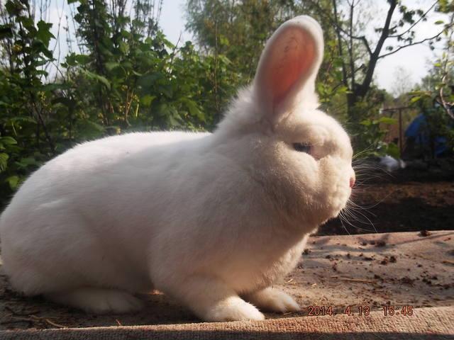 Венский белый кролик. 4821931_m