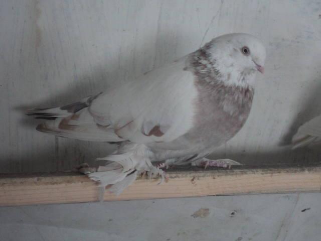 Лет и игра голубей. 4897177_m
