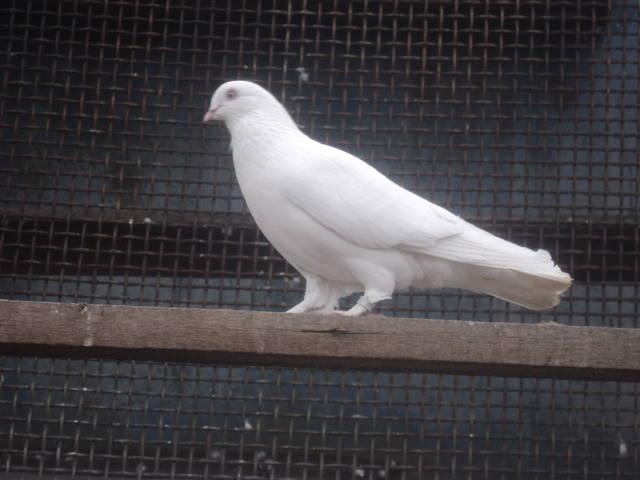 Лет и игра голубей. 4897178_m