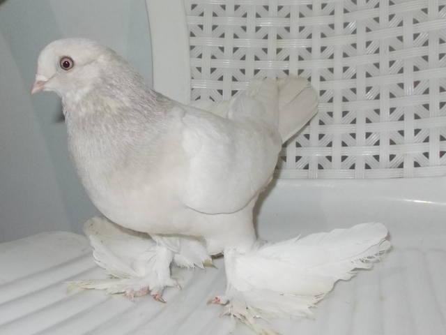 Бойные  голуби  Туркмении - Страница 38 4904164_m