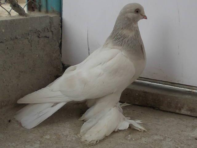 Бойные  голуби  Туркмении - Страница 38 4926192_m