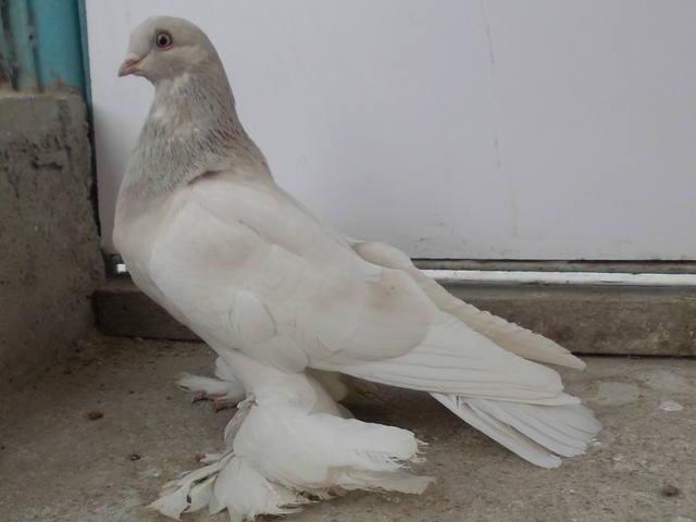 Бойные  голуби  Туркмении - Страница 38 4926210_m