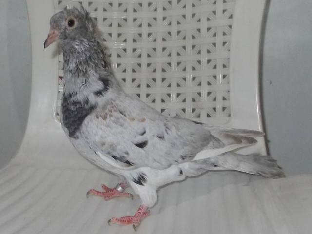 Бакинские  бойные (голуби  Республики  Азербайджан) - Страница 6 4926754_m