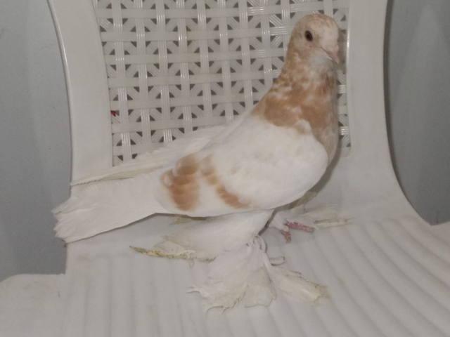 Бойные  голуби  Туркмении - Страница 38 4926772_m