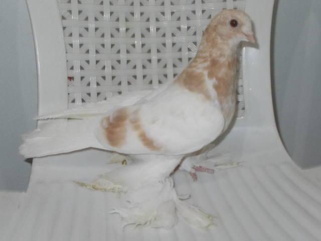 Бойные  голуби  Туркмении - Страница 38 4926793_m
