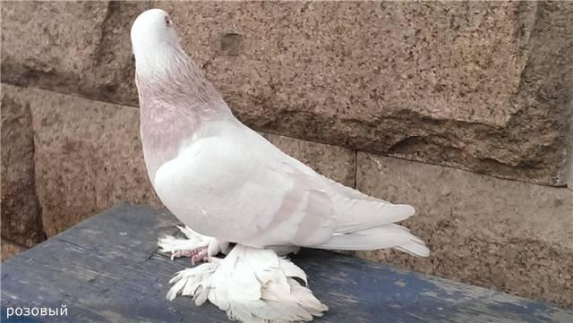 Бойные  голуби  Туркмении - Страница 38 4937479_m