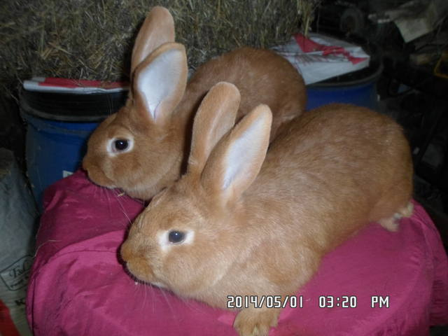 Кролики породы Бургундский - Страница 9 5004264_m