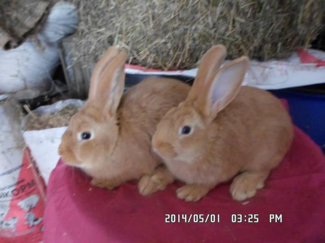 Кролики породы Бургундский - Страница 9 5004280_m