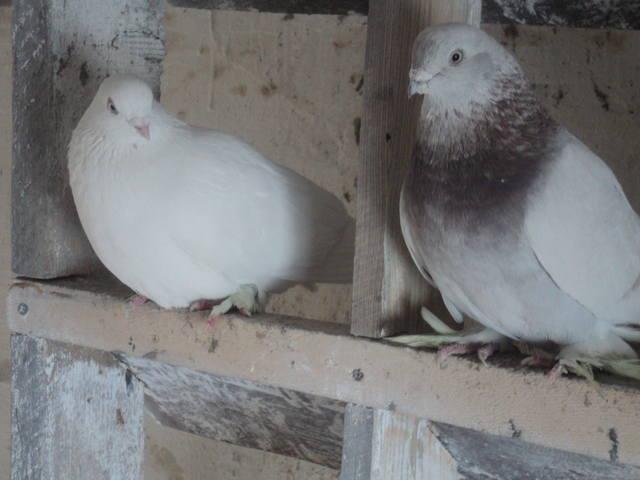 Бойные голуби Таджикистана - Страница 6 5138630_m