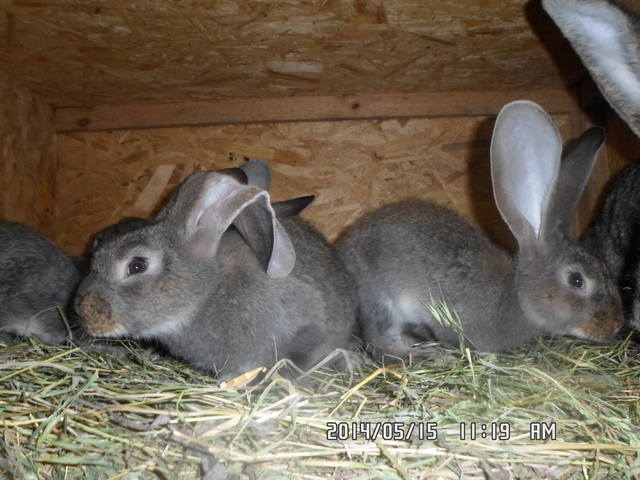 У крольчат виснет ухо. - Страница 4 5160666_m