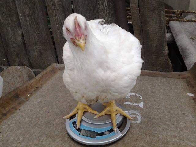 Выгодно ли растить бройлерных цыплят на мясо? - Страница 5 5161254_m