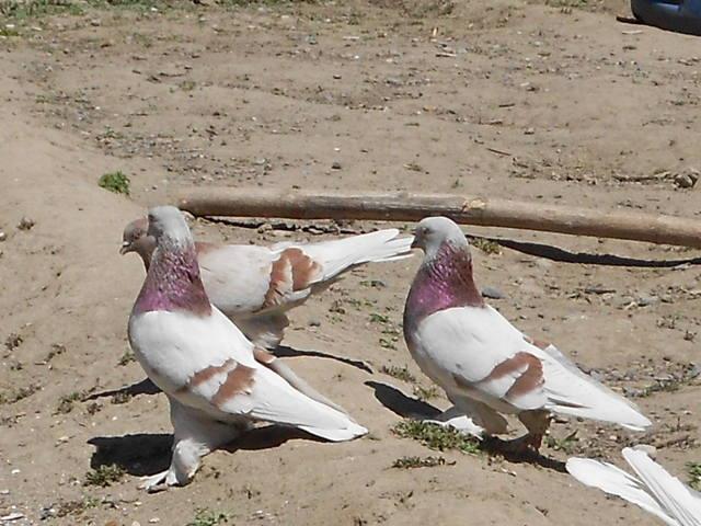 Голуби Асхата (Талдыкорган) - Страница 8 5235933_m