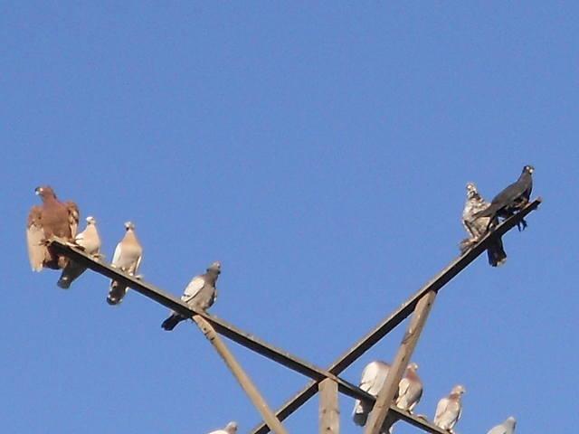 Голуби Асхата (Талдыкорган) - Страница 8 5236019_m