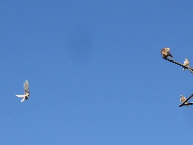 Голуби Асхата (Талдыкорган) - Страница 8 5236025_m