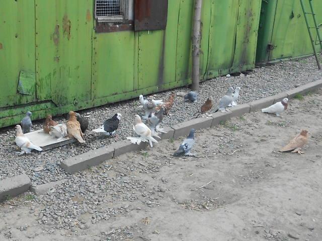 Голуби Асхата (Талдыкорган) - Страница 8 5281517_m