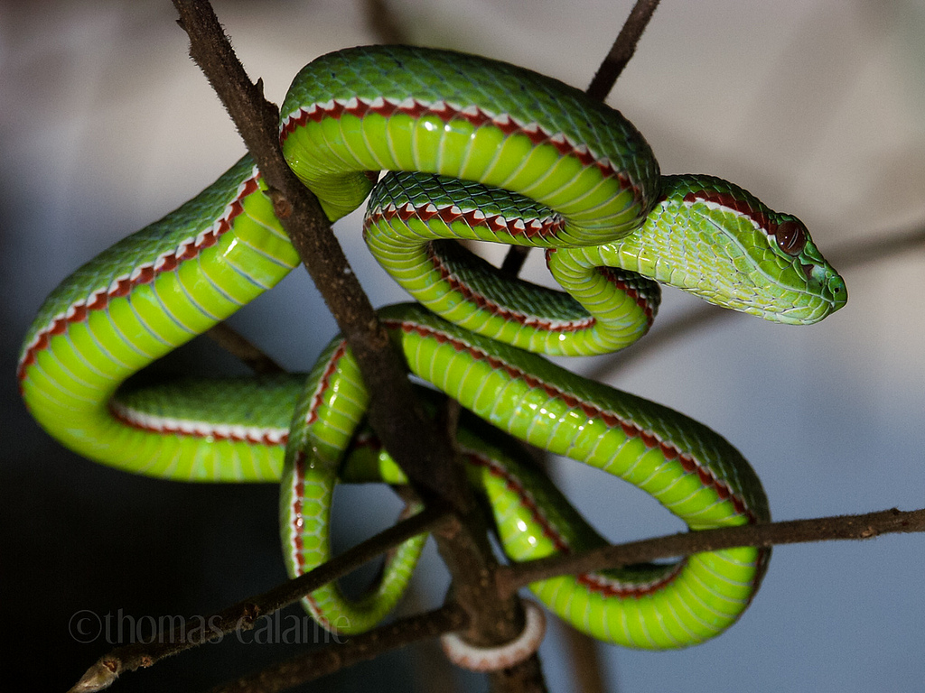 Trimeresurus popeorum 1